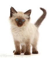 Ragdoll-cross kitten, 8 weeks old