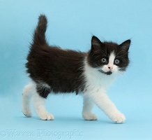 Black-and-white kitten,  weeks old, walking on blue background