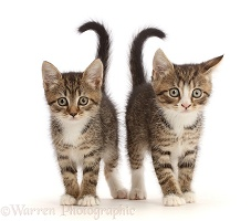 Tabby kittens with big eyes, walking together