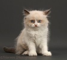 Persian-x-Ragdoll kitten, sitting on grey background