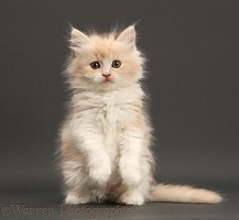 Persian-x-Ragdoll sitting on grey background