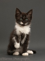 Black-and-white kitten, 8 weeks old, sitting on grey background