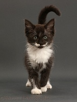 Black-and-white kitten, 8 weeks old, walking on grey background