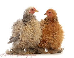 Buff and Cream Frizzle Bantam, chickens, 15 weeks old