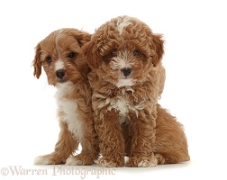 Two red Cavapoo dog puppies, 8 weeks old