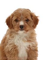 Red Cavapoo dog puppy, 8 weeks old