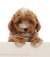 Red Cavapoo dog puppy, 8 weeks old, paws over
