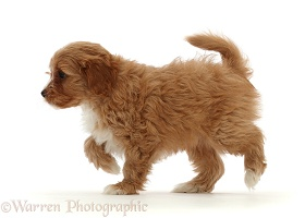 Red Cavapoo dog puppy, 8 weeks old, walking across
