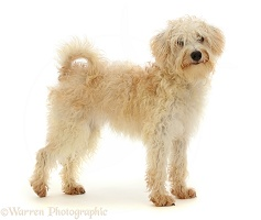 Cream coloured Schnoodle standing