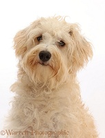 Cream coloured Schnoodle portrait