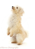 Cream coloured Schnoodle standing up on hind legs