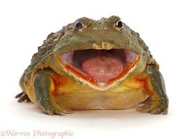 African Bullfrog, mouth wide open