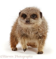Elderly female Meerkat