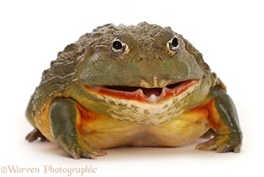 African Bullfrog, mouth open