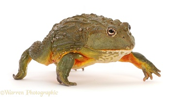 African Bullfrog, walking
