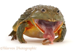 African Bullfrog, taking a mealworm