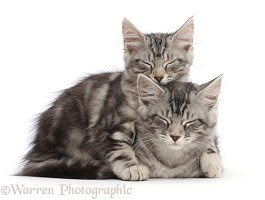 Silver tabby kittens, sleeping