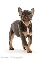 Blue-and-tan French Bulldog puppy trotting