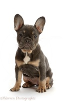 Blue-and-tan French Bulldog puppy sitting