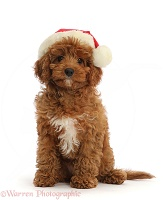 Red Cavapoo puppy wearing a Santa hat