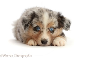 Mini American Shepherd puppy, 7 weeks old, chin on floor