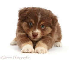 Playful Mini American Shepherd puppy