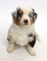 Mini American Shepherd puppy, 7 weeks old, sitting looking up