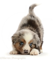 Playful Mini American Shepherd puppy in play-bow