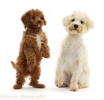 Cream coloured Schnoodle and red Cavapoo puppy
