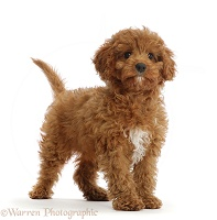 Red Cavapoo puppy standing