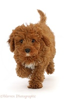 Red Cavapoo puppy, running