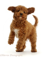Playful Red Cavapoo puppy