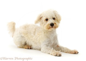 Cream coloured Schnoodle