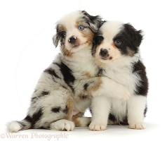 Mini American Shepherd puppies, 7 weeks old, hugging