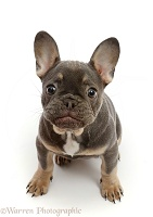 Blue-and-tan French Bulldog puppy sitting looking up