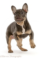 Blue-and-tan French Bulldog puppy jumping up
