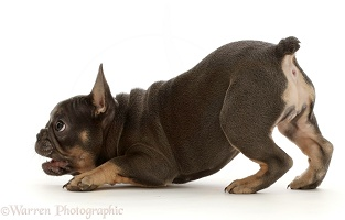 Blue-and-tan French Bulldog puppy in play-bow