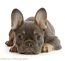 Blue-and-tan French Bulldog puppy lying, chin on floor