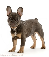 Blue-and-tan French Bulldog puppy standing