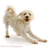 Cream coloured Schnoodle in play-bow