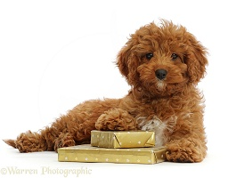 Red Cavapoo puppy with Birthday presents
