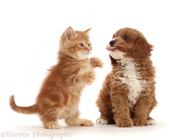 Ginger kitten and Cavapoo puppy