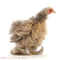 Cream Frizzle Bantam, chicken, 15 weeks old