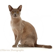 Blue Burmese cat sitting