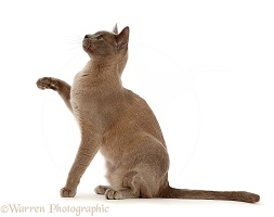 Blue Burmese cat sitting and pointing