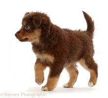 Mini American Shepherd puppy, 7 weeks old, walking
