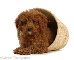 Red Cavapoo puppy in a wicker basket