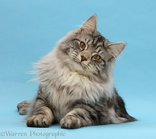 Silver tabby cat on blue background