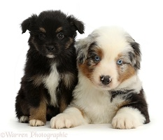 Mini American Shepherd puppies, 7 weeks old