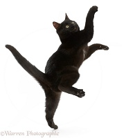Black kitten jumping and reaching up